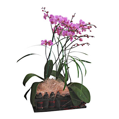 Phalaenopsis Orchid Plant_Deluxe (bonmua® BMS-010B)