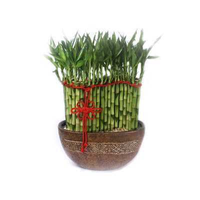 Lucky Bamboo In Ceramic of Congratulations (bonmua FDJ-A136)