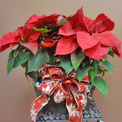 Red Poinsettia flowers of Christmas (bonmua XMF-006)