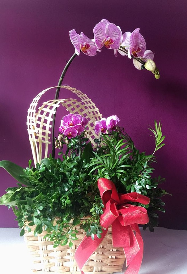 Phalaenopsis Orchid Plant in basket (4mua® BMS-010B)